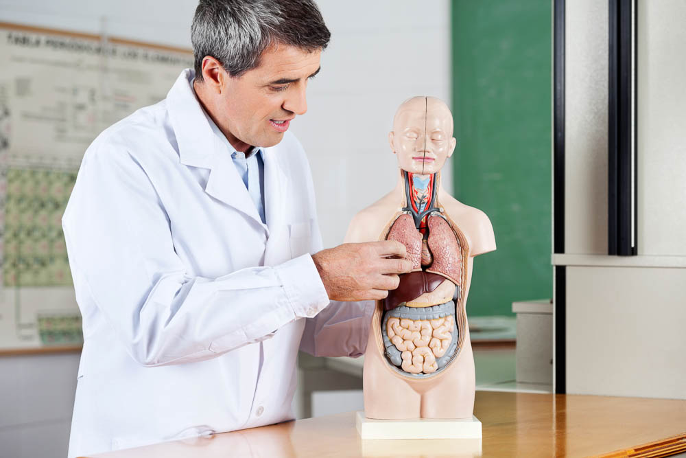 Professor Analyzing Anatomical Model At Desk